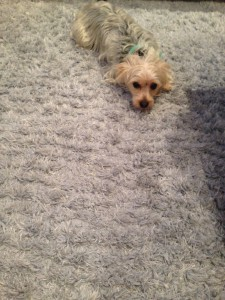 Santa-Rosa-Dog-carpet-clean